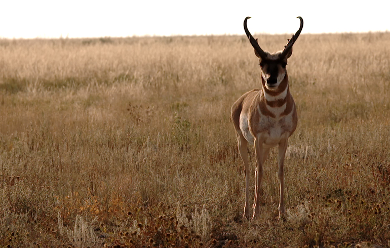 How To Have a More Successful Early Season Antelope Hunt