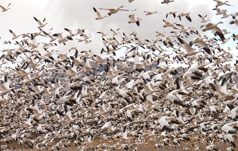 It's Not Over Yet – Late Season Goose Hunting