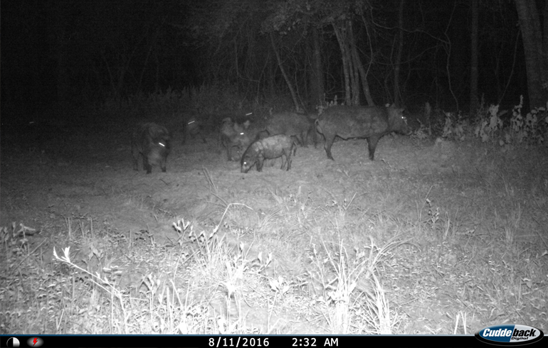 Use Calls to Hunt Hogs