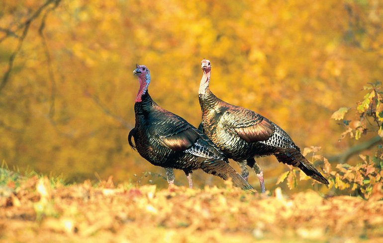 Fall Turkey Hunting – How to Locate Birds