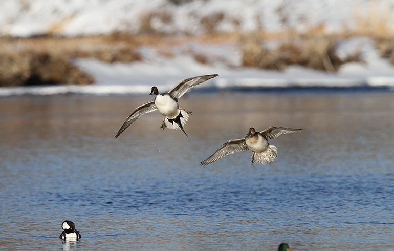 Five Tips for Shooting More Waterfowl