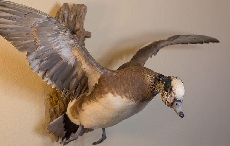 Pre-Taxidermy Tips For Waterfowl