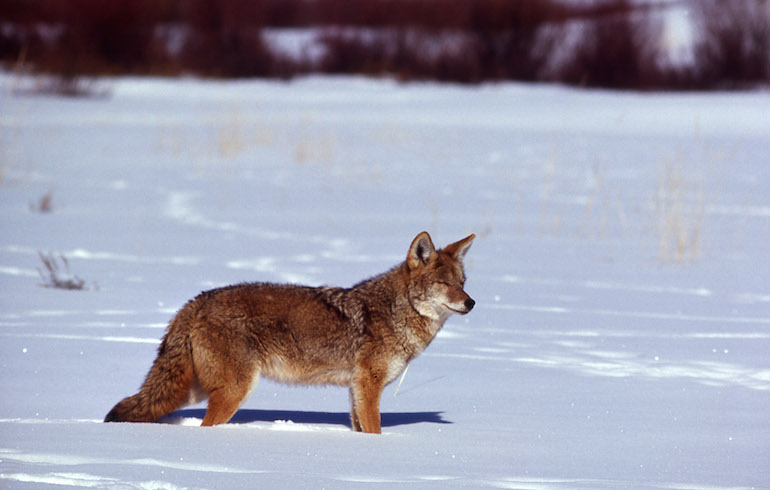 Successful Tips for Winter Coyotes