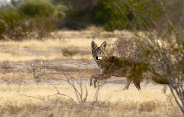 Coyote Hunting: Centerfire, Shotshell or Rimfire?