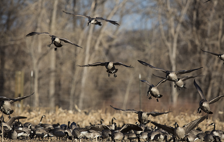 Quick-Hitting Tips for Late Season Waterfowl
