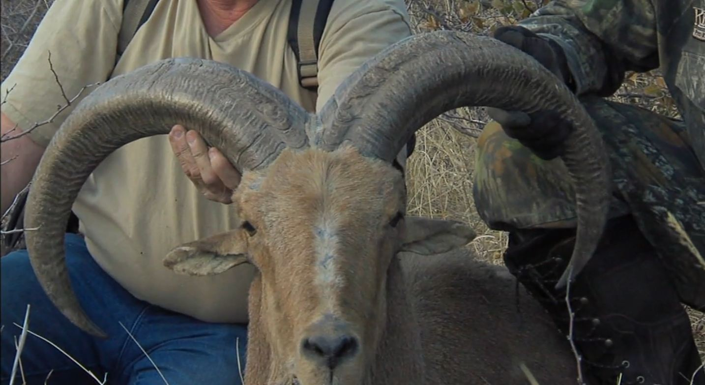 West Texas Aoudad