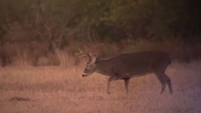 Texas Whitetail (All About Texas)
